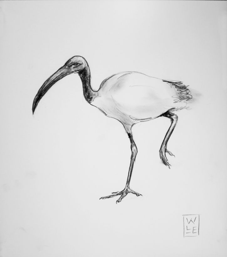 African Sacred Ibis Graphite Drawing