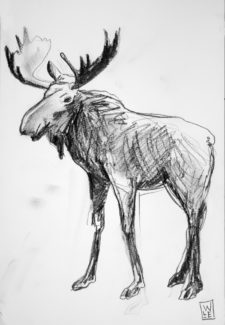 Moose Graphite Drawing
