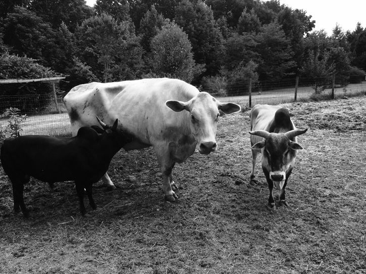 Haiku Tuesday: Cows